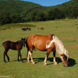 Monti Sabini-Prati di Sopra, cavalli al pascolo
