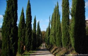 Castiglione in Teverina-Strada della Lega, filare di cipressi RCRLB