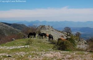 Cavalli al pascolo presso Campo Rosello