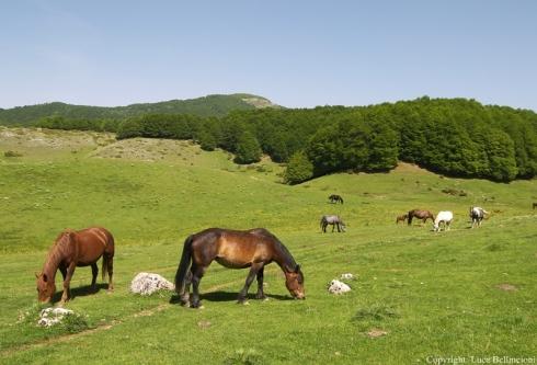 Mti Simbruini-Campo della Pietra, cavalli al pascolo 5 RCRLB.jpg