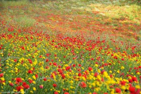 Teverina-Loc. Fossa (Celleno), fioritura 1 RCRLB